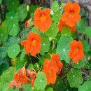 10 Plantas aromáticas para controlar las plagas del huerto ecológico