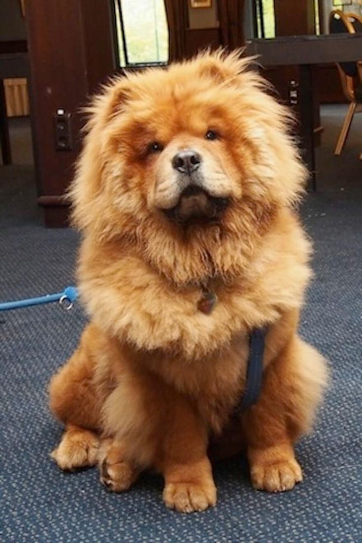 http://theawesomedaily.com/27-chubby-puppies-look-like-teddy-bears/