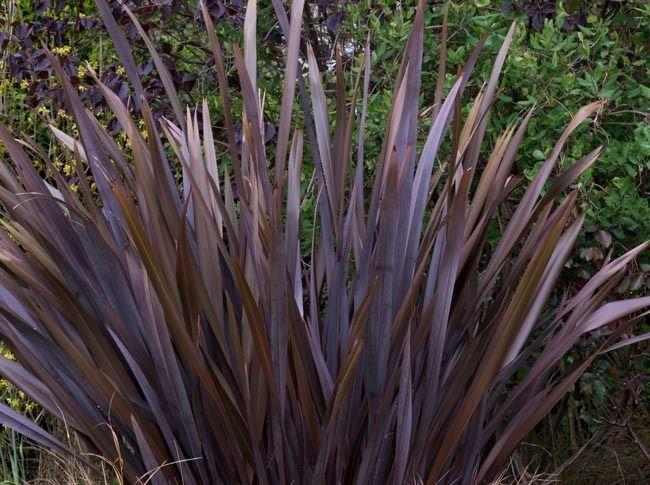 Phormium Tenax Purpureum Group New Zealand Flax New Zealand Flax Flax Plant Plants