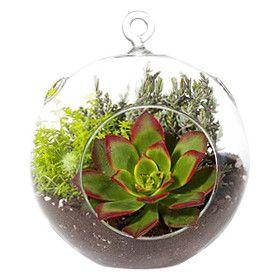 Aeonium Kiwi Succulent Hanging Plant in Terrarium