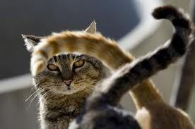 coda - Google Search doppi gatti codati