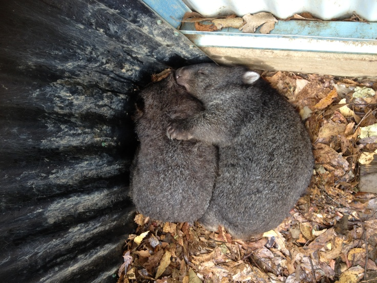 Two wombats sharing a cuddle while having a nap at Mole Creek, Tasmania. Cute!