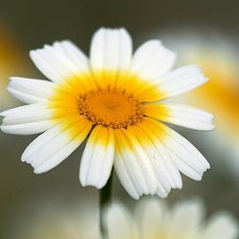Acorn Farms - Chrysanthemums Crete: season midChrysanthemums Crete, Chrysanthemums Reference