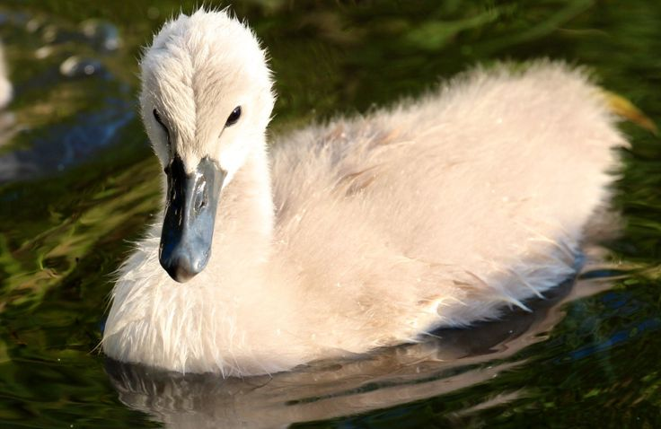 Swan youngster looks so cute and soft