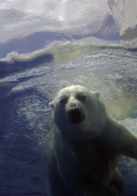 I wanna watch polar bears swim.