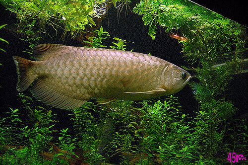 50 best images about arowana tag on pinterest chili for Freshwater dragon fish
