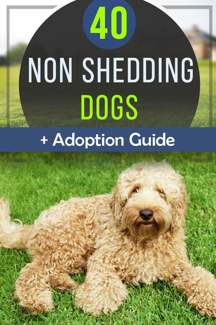 We Rated All The Best Non Shedding Dogs To Help You With Adoption We Teamed Up With Expert Non Shedding Dogs Dog Breeds That Dont Shed Low Shedding Dog Breeds