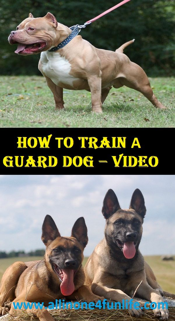 How To Train A Guard Dog Video Dog Dogs Animal Animals Love