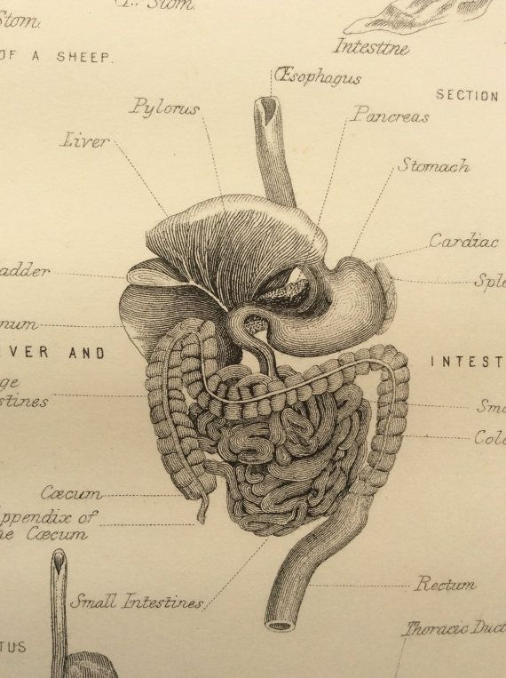 Antique Engraving ANATOMY Dissection STOMACH Digestive System Intestines Bookplate 1880s Victorian Vintage Print 1883