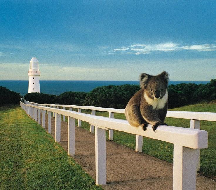 koala near The Great Ocean Road - Victoria