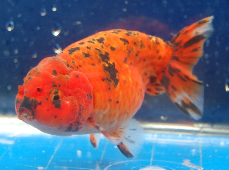 9 best goldfish ranchu lionhead oranda images on pinterest