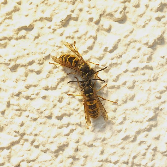 When Wasps Die Germany October Wasp