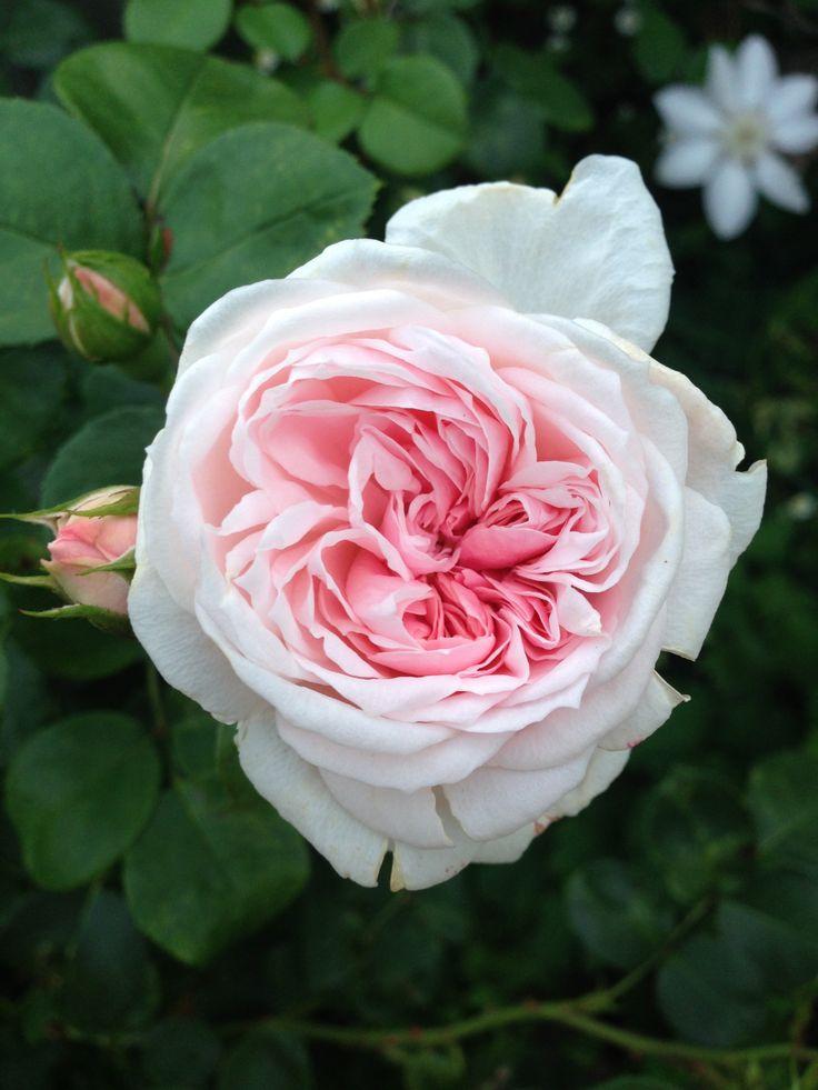 Pale pink rose Cinderella