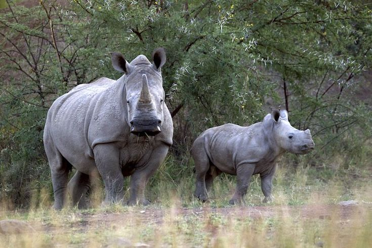 A white rhino and her calf in South Africa's Pilanesberg National Park in 2012. (Photo: Mike Hutchings/Reuters) -- Take Part -- 4-2-16 -- A project is racing poachers to save six critically endangered white rhinos.