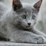 Ruska plava mačka – mirna i verna lepotica
