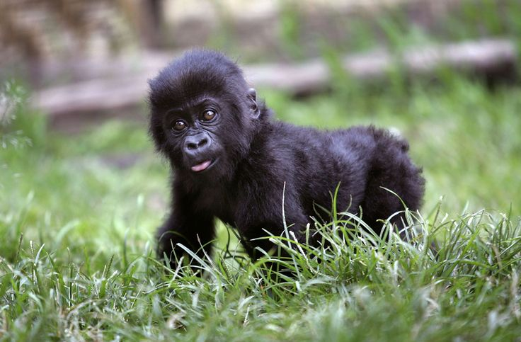 The Sad, Savage Reality of Gorilla Poaching