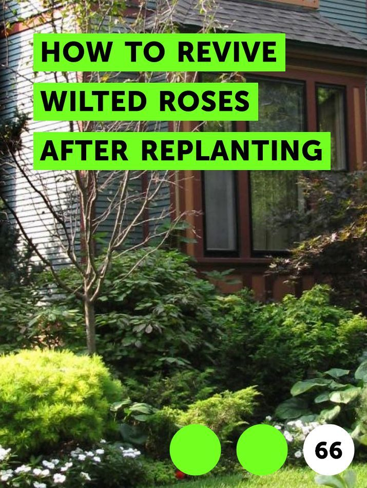 Learn How To Revive Wilted Roses After Replanting How To Guides Tips And Tricks Wilted Rose Replant Phalaenopsis Orchid