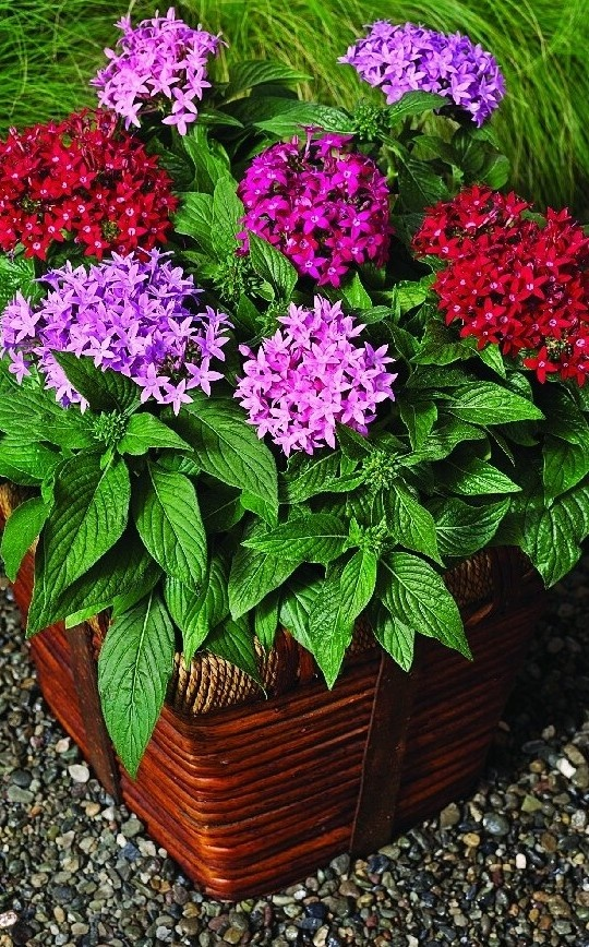Choose A Filler Botanic Name Pentas Lanceolata New Look