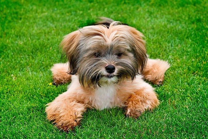 Top 8 Dog Breeds For Allergy Sufferers Dog Names Dog Breeds