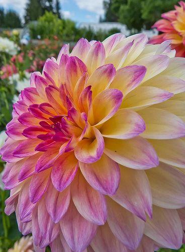 September Morn Dahlia at Swan Island Dahlias near Canby, Oregon