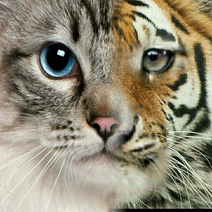 A kitty cat and tiger