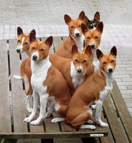 Basenjis! Our dog is part Basenji