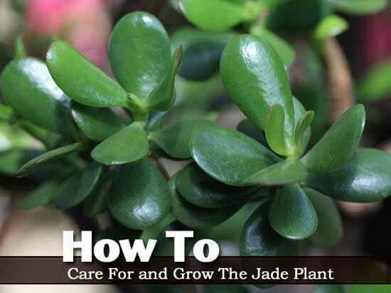 how to care for and grow a jade plant garden pinterest plants jade plants and jade. Black Bedroom Furniture Sets. Home Design Ideas
