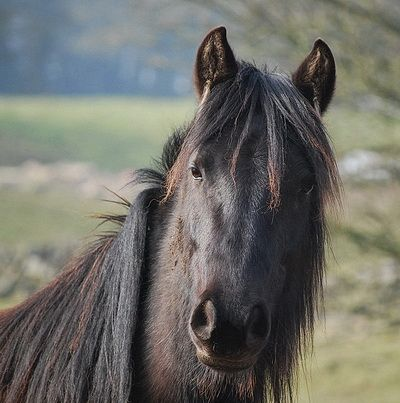 Great expression! Fell Ponies - *** Stoneybank Fell Ponies