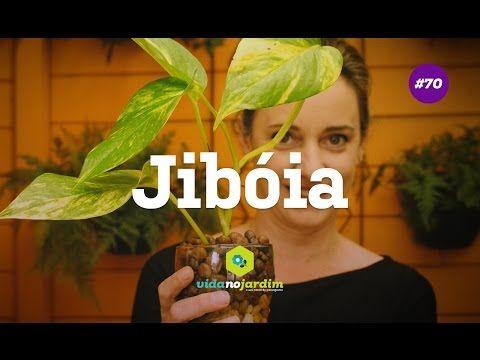 Jibóia, uma planta de fácil cultivo - YouTube
