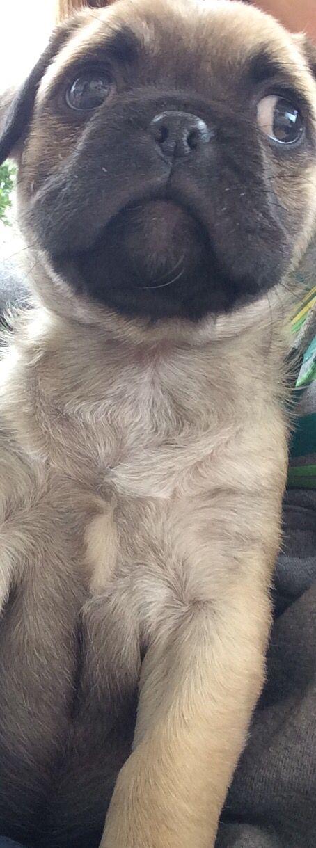 Pepper The Pug. 8 Weeks