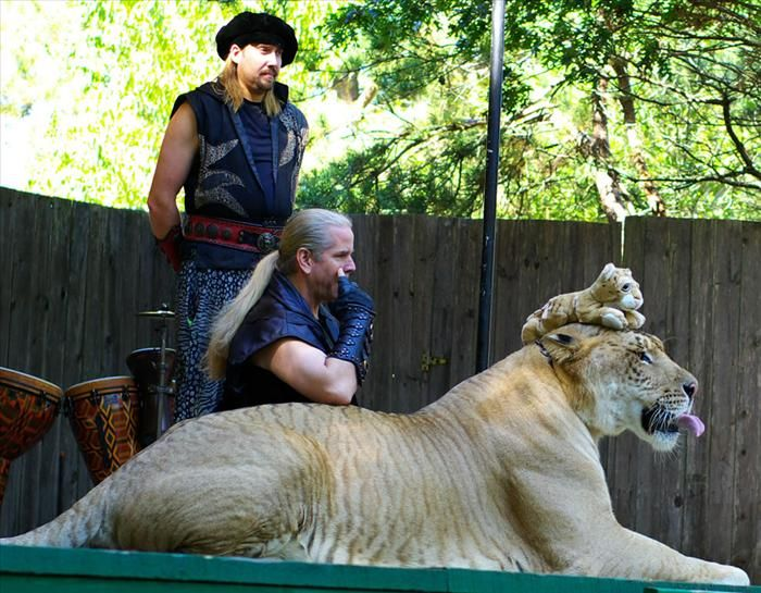 Introducing the liger. For those who aren't familiar with this amazing beast, it is a cat whose a result of a male lion mating with a female tiger. This usually only happens in captivity. Ligers are very social creatures and they seem to get along both with lions and tigers. They also show real affection towards their huamn handlers. According to many handlers, ligers are bigger, stronger and usually healthier than either parent.