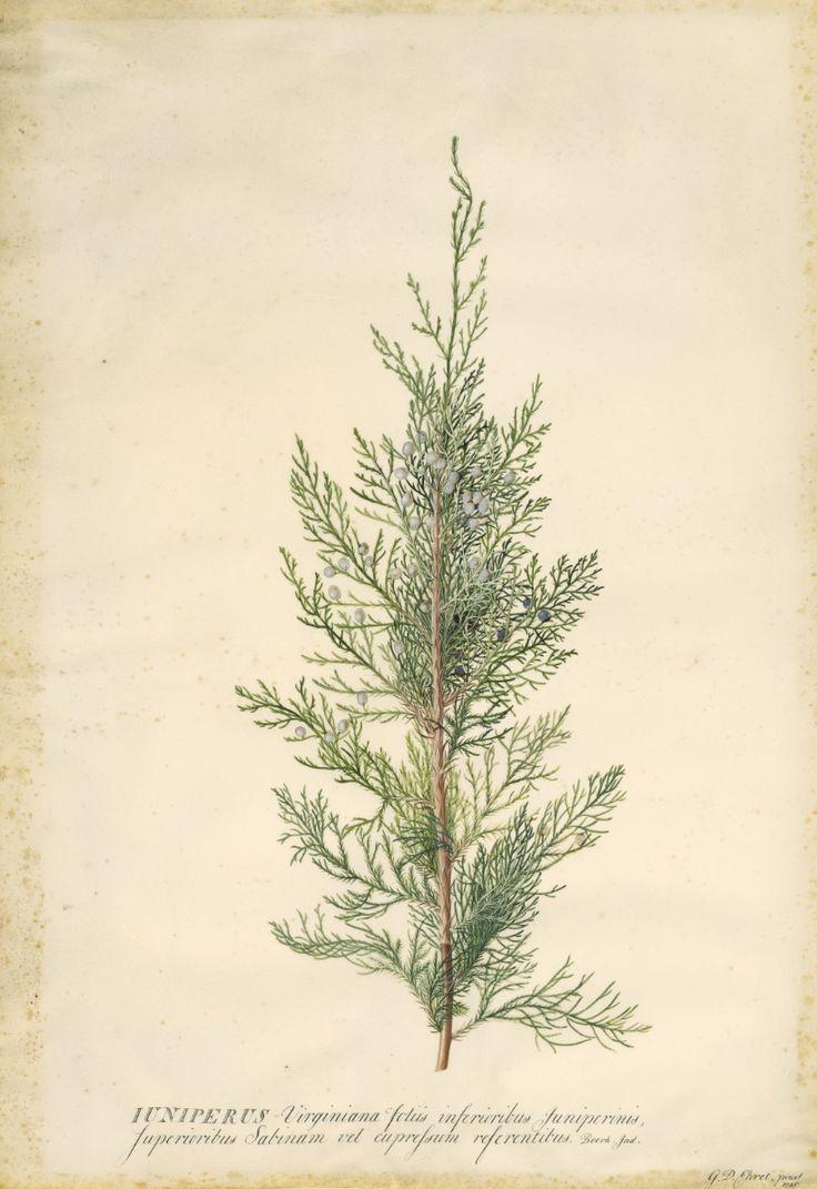 best flora images on pinterest botanical drawings botanical