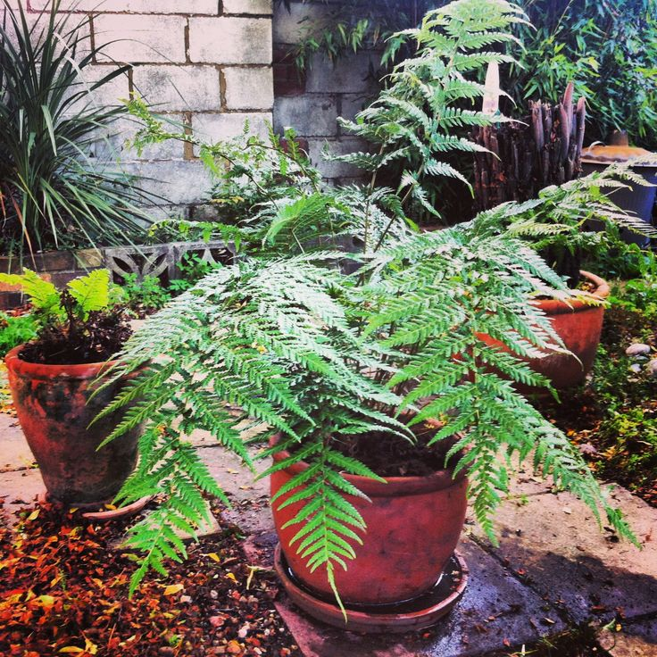I love My new tropical Tasmanian fern tree
