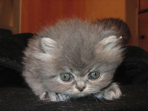 The gallery for --> Grey Persian Kittens
