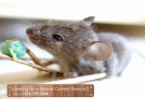 Mouse and mice are among the worst pests that can enter one's home. This is why mouse and mice control Vaughan services are offered by many exterminators.