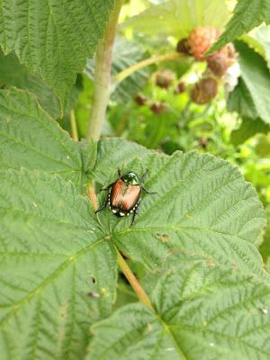 how to get rid of raspberry bugs