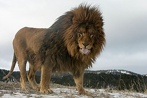 barbary lion  panthera leo leo   sometimes referred to as the atlas lion  now considered extinct