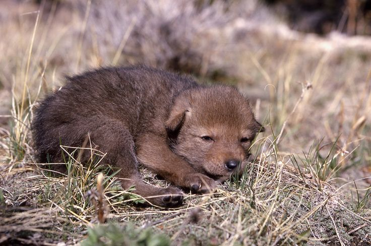 Coyotes and dogs share over 98 of their DNA and are more