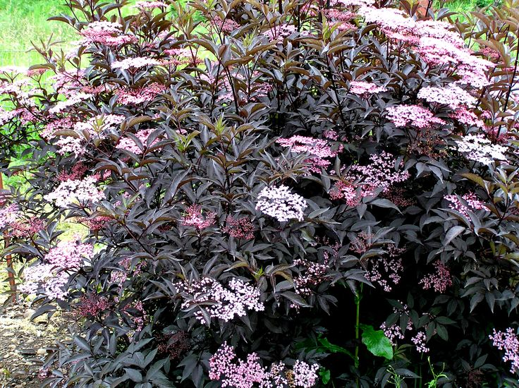 18 best images about garden shrub sambucus on pinterest for Flowering landscape plants