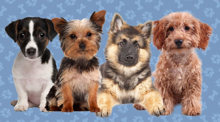 If you were a dog, which breed would you be? Take the quiz to find out