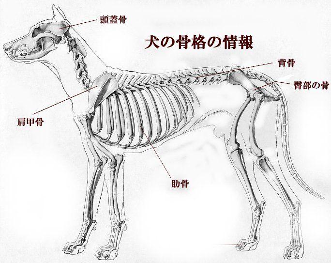 犬の骨格図。主に頭蓋骨、肩甲骨、背骨、肋骨、臀部の骨、前足と後ろ足の骨、指等の骨で構成されている