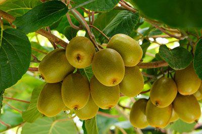 Kiwi Frucht am Baum
