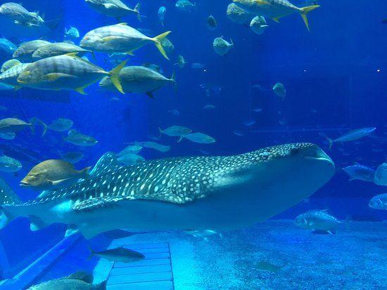 Book your tickets online for Okinawa Churaumi Aquarium, Motobu-cho: See 4,474 reviews, articles, and 5,513 photos of Okinawa Churaumi Aquarium, ranked No.1 on TripAdvisor among 49 attractions in Motobu-cho.