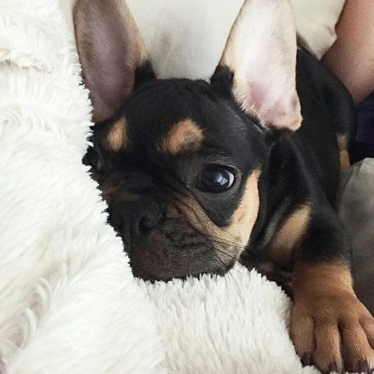"""Friday I'm in Love"" ❤, Hamlet, the French Bulldog Puppy, @heyhamlet on instagram."