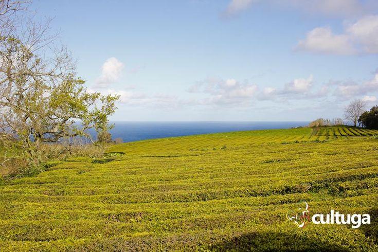 Plantação de chá da Gorreana, uma das mais antigas da Europa. Ilha de São Miguel, Açores, Portugal. Roteiro de viagem