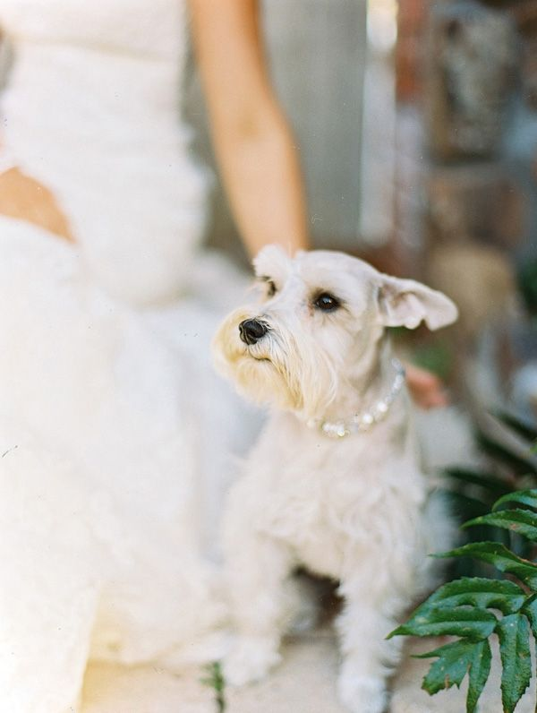 wedding dog macy the schnauzer with mom amanda