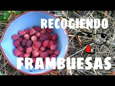 Cómo cultivar frambuesas: guía de cultivo | Plantas