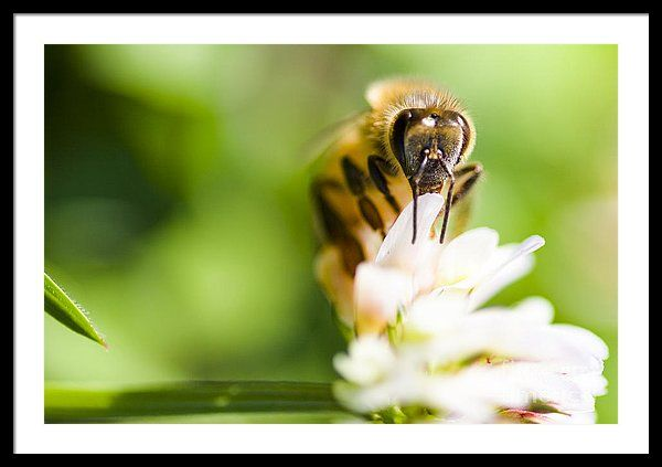 Animals Framed Print featuring the photograph Honey Bee On Clover Flower by Jorgo Photography - Wall Art Gallery