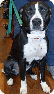 Gaithersburg, MD - Pit Bull Terrier Mix. Meet Lara a Dog for Adoption.