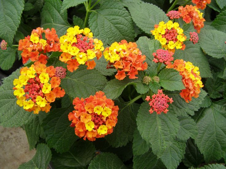 Lantana- great container plant butterfly magnet, deer proof annual for hot sunny spots